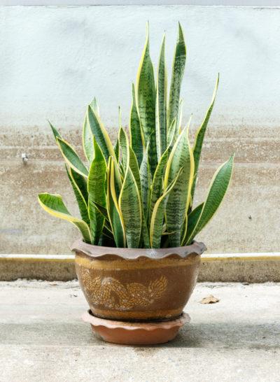 snake-plant-400x546